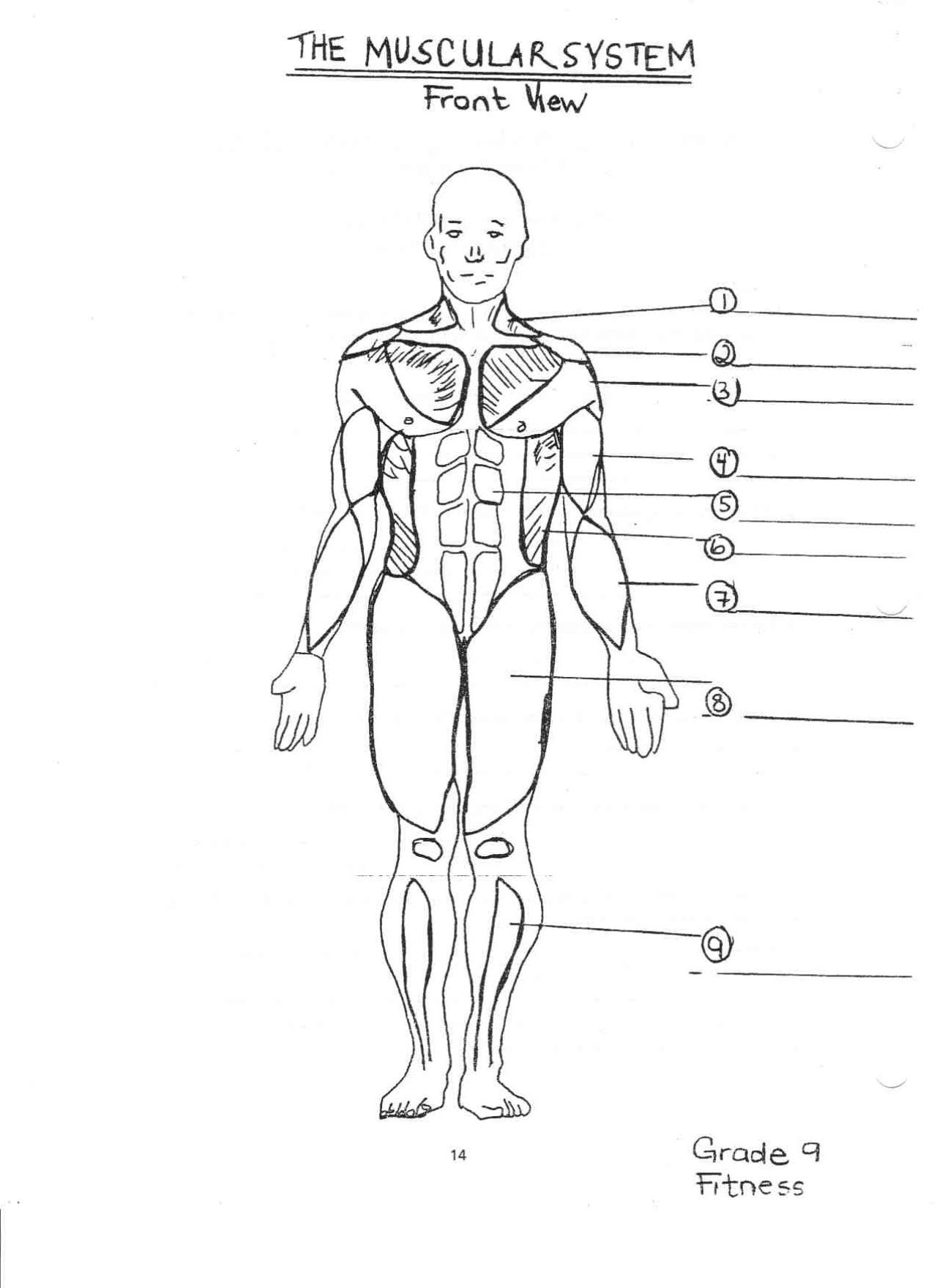 Muscular System For Coloring Pinterest - Anatomy Body Diagram