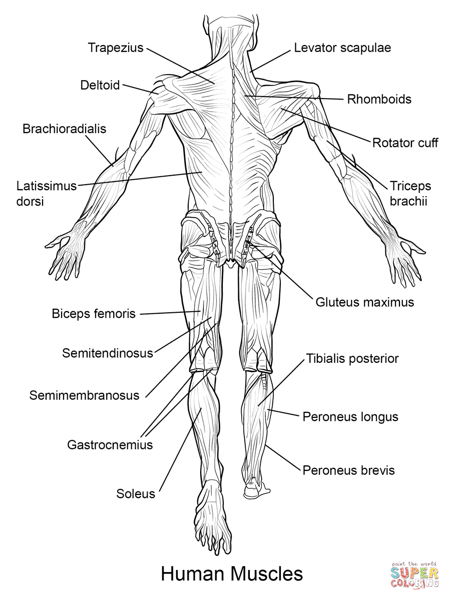 It's just a graphic of Delicate anatomy coloring pages muscles