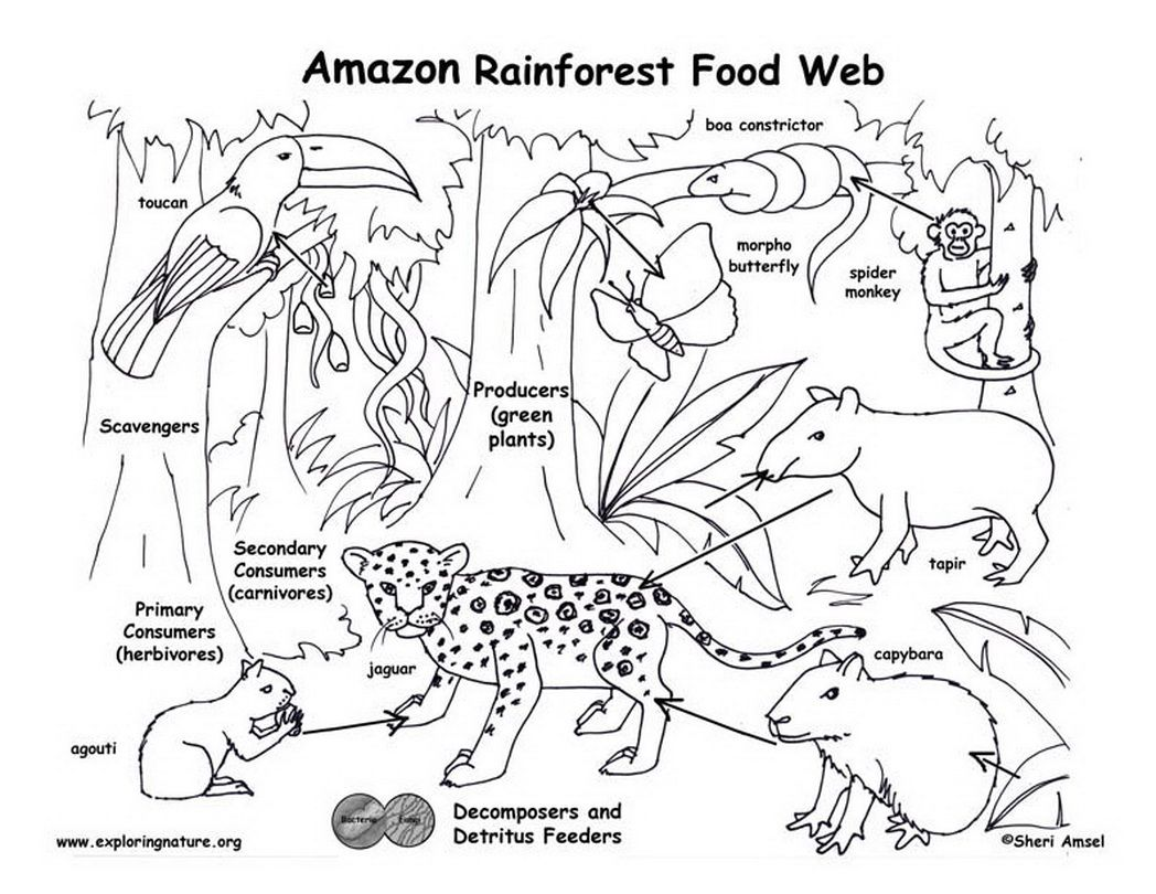 Nature Coloring Pages Pdf : Amazon rainforest food web exploring nature educational