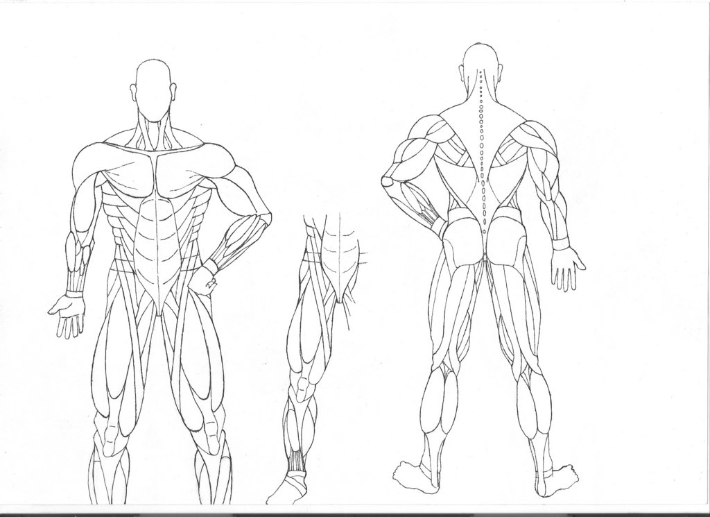 muscular system coloring pages - photo#3
