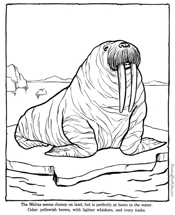 Zoo Coloring Pages For Preschoolers | Walrus coloring sheets to ...
