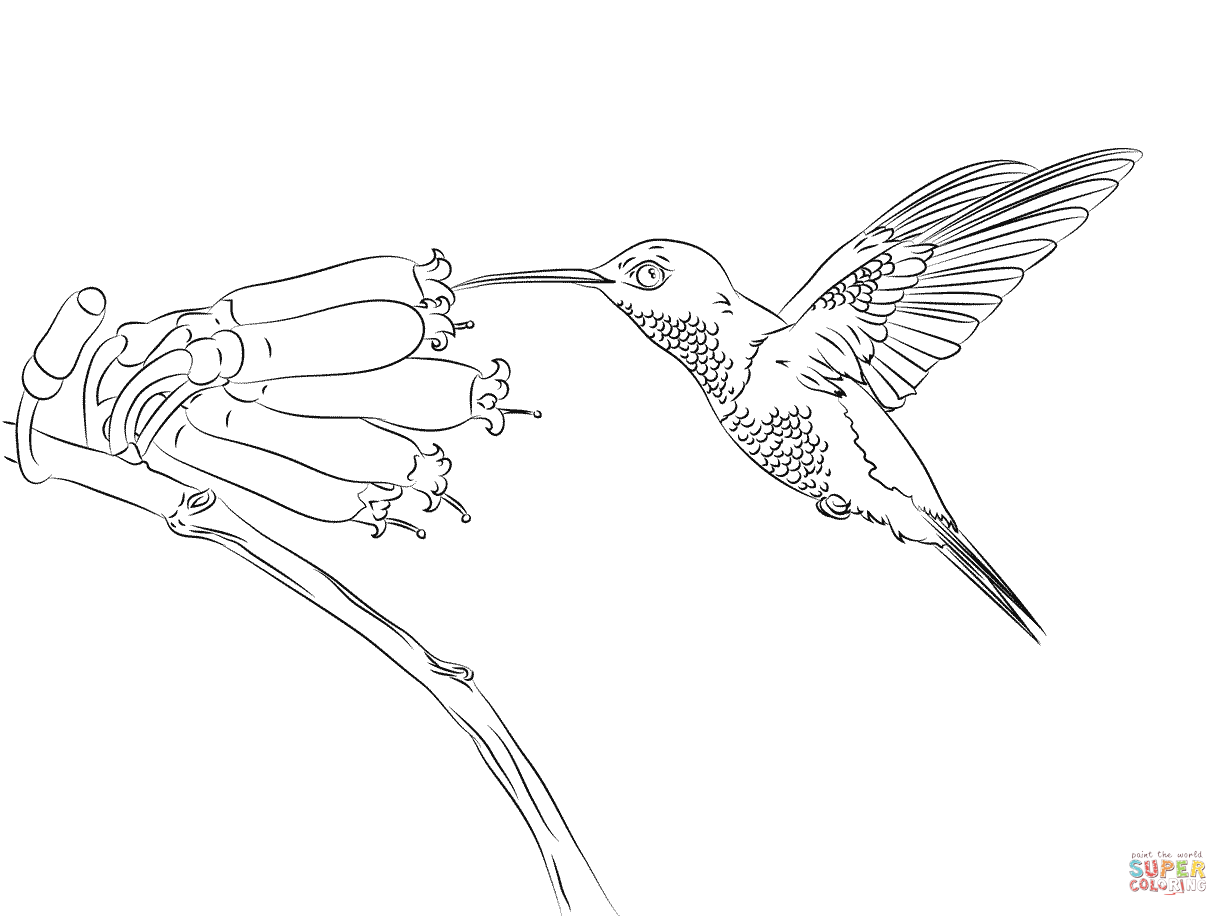 Humming Bird Coloring Page