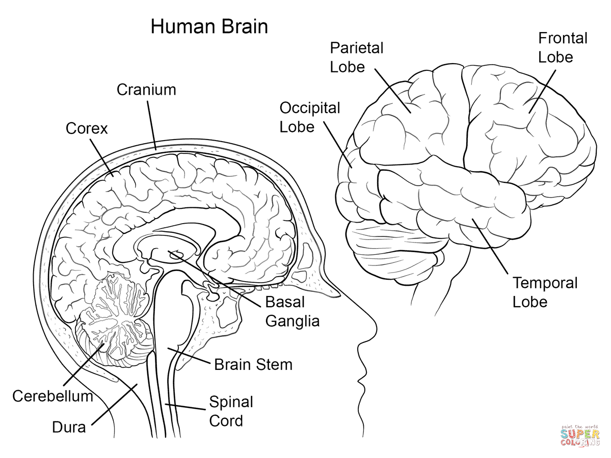 human brain anatomy coloring page