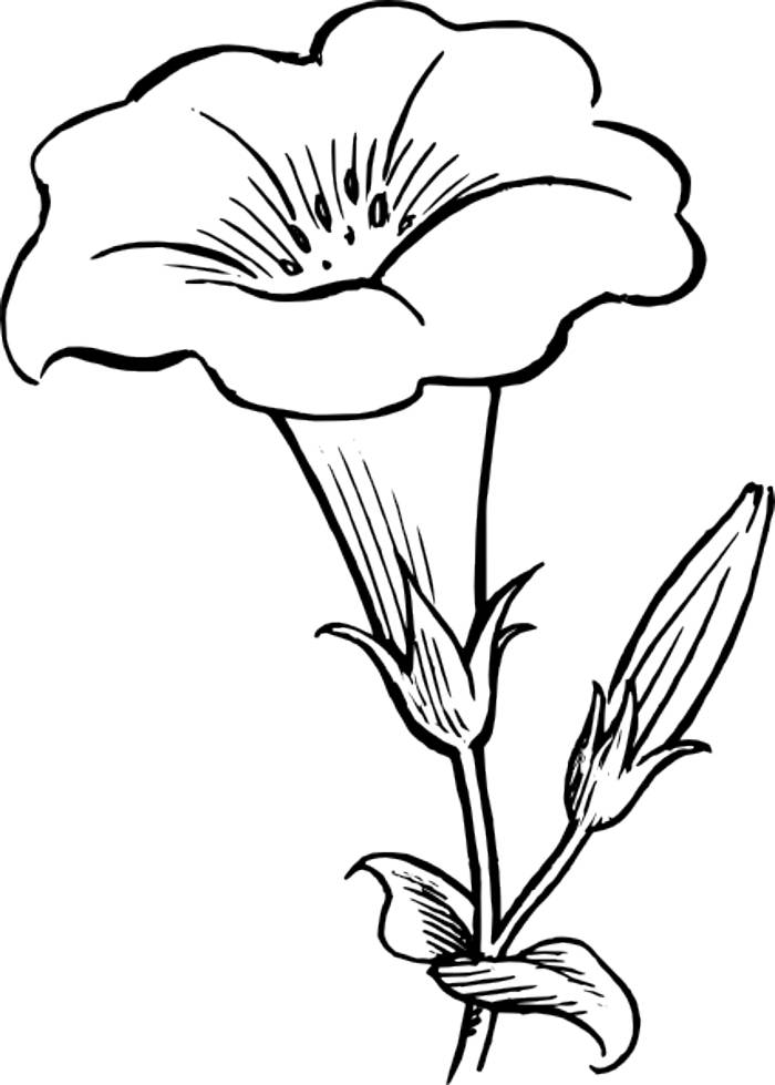 Beautiful Flower Line Drawing : Outline of flowers coloring home