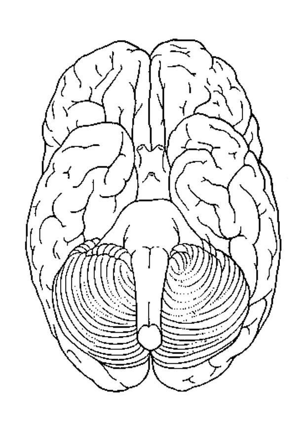 brain anatomy coloring pages coloring home