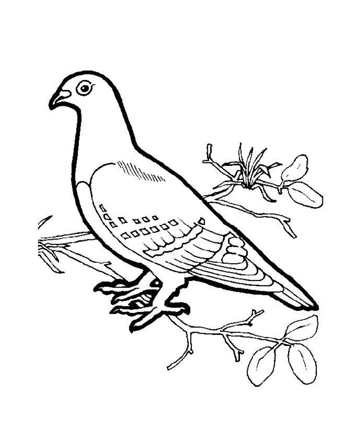 White dove coloring page coloring home - Coloriage pigeon ...