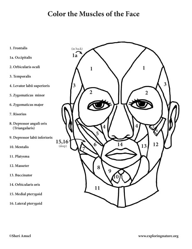 Muscles Coloring Pages - Coloring Home