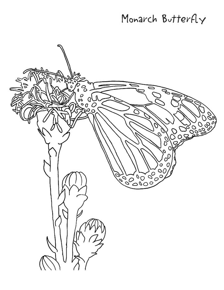 Monarch Butterfly Coloring Page for Kids - Free Printable Picture
