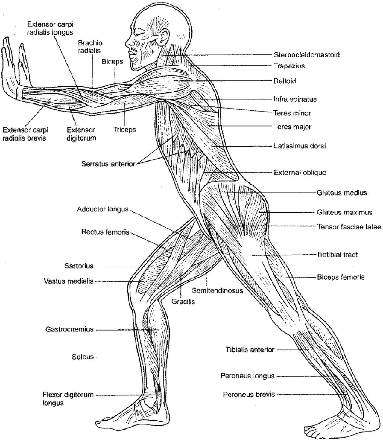 Muscular System Coloring Pages - AZ Coloring Pages