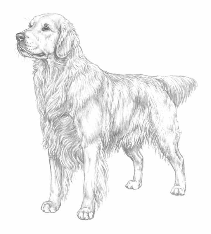 7 Pics of Golden Retriever Coloring Pages To Print - Golden ...