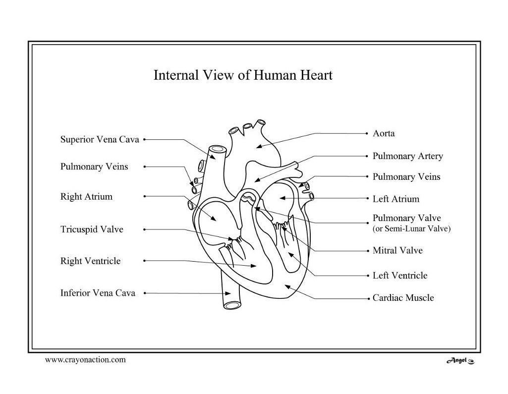Anatomical Heart Coloring Page - Coloring Home