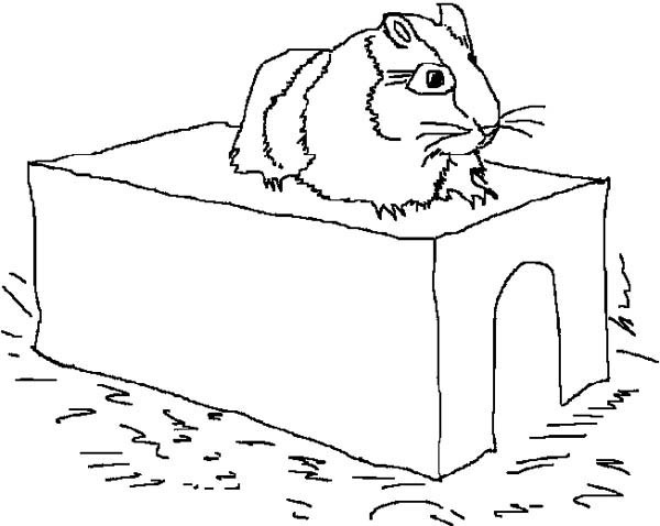 Guinea Pig Coloring Pages Coloring