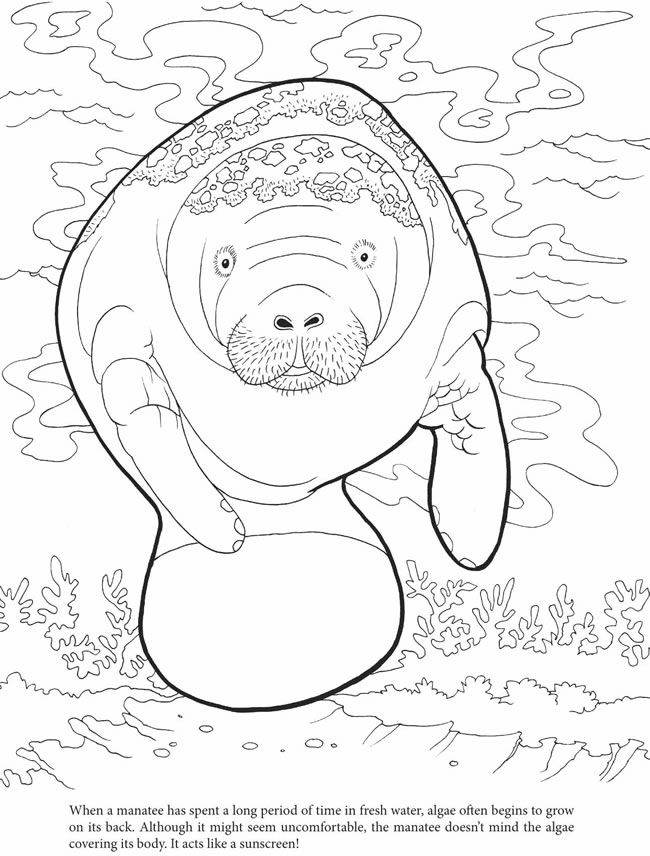 Manatees coloring pages coloring home for Manatee coloring pages
