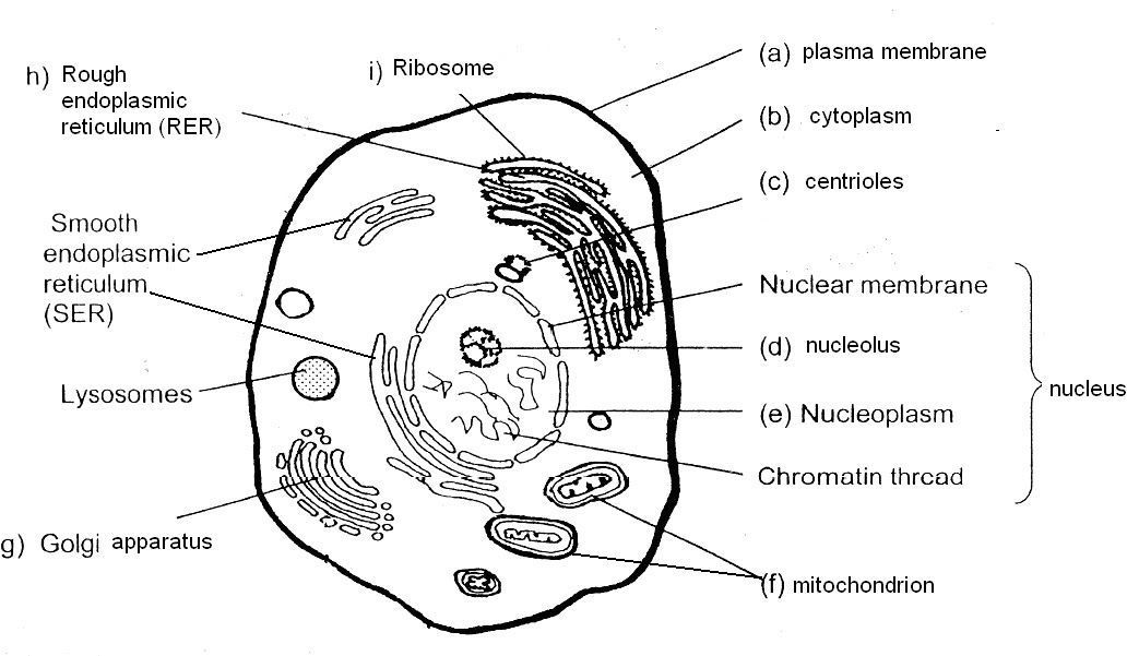 Animal cell coloring page az coloring pages for Human cell coloring page