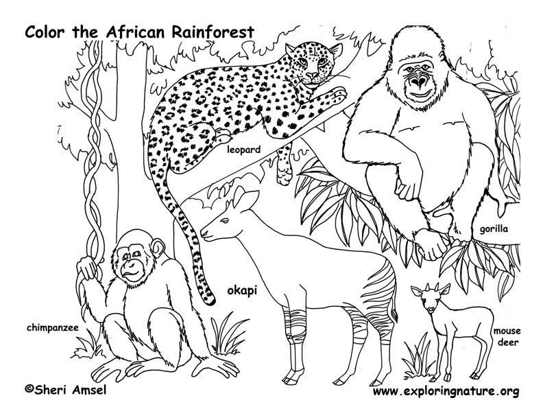 Rain Forest Habitat Colouring Pages - Coloring Home | 612x792