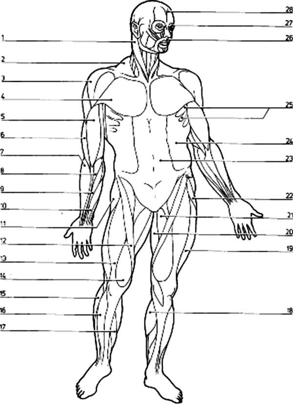 Muscular System Coloring Page Coloring Home Muscular System Coloring Pages