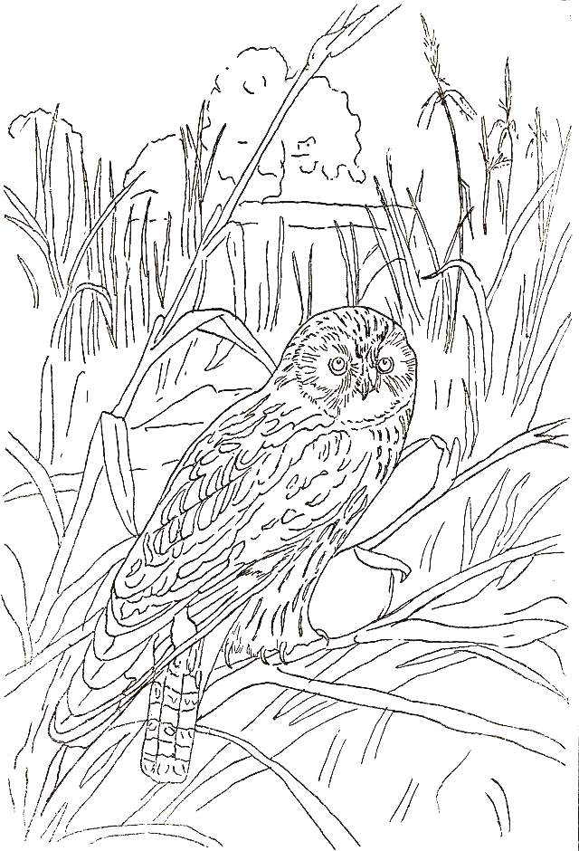 great horned owl coloring pages - photo#28