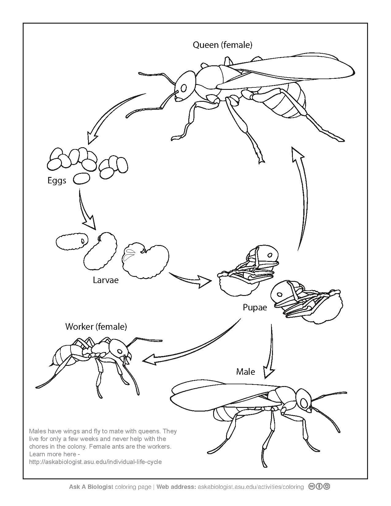 plant life cycle coloring pages coloring home