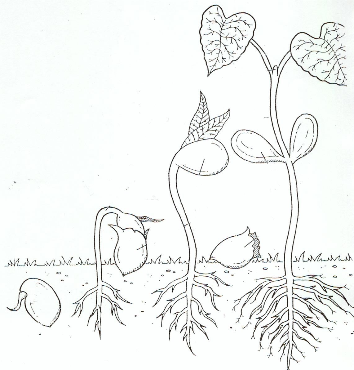 Life Cycle Coloring Page of a Seed to Plant A | Flower life cycle ...