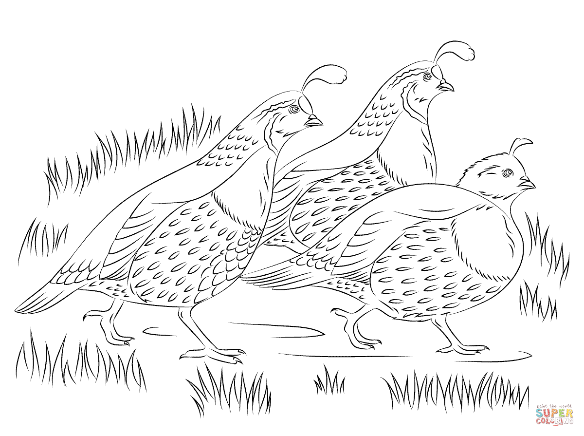 California quails coloring page free printable coloring pages