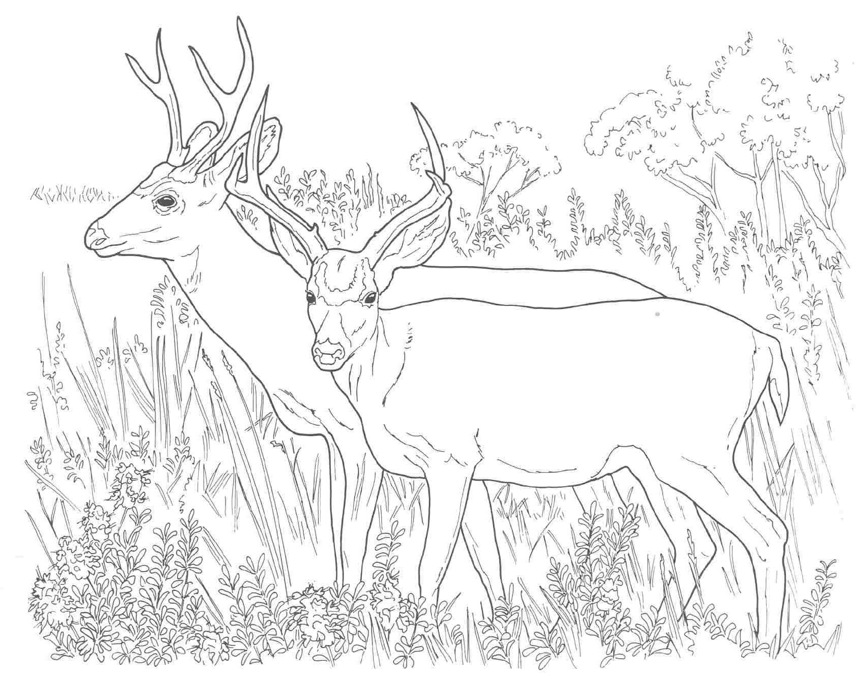 white tailed deer coloring pages to print