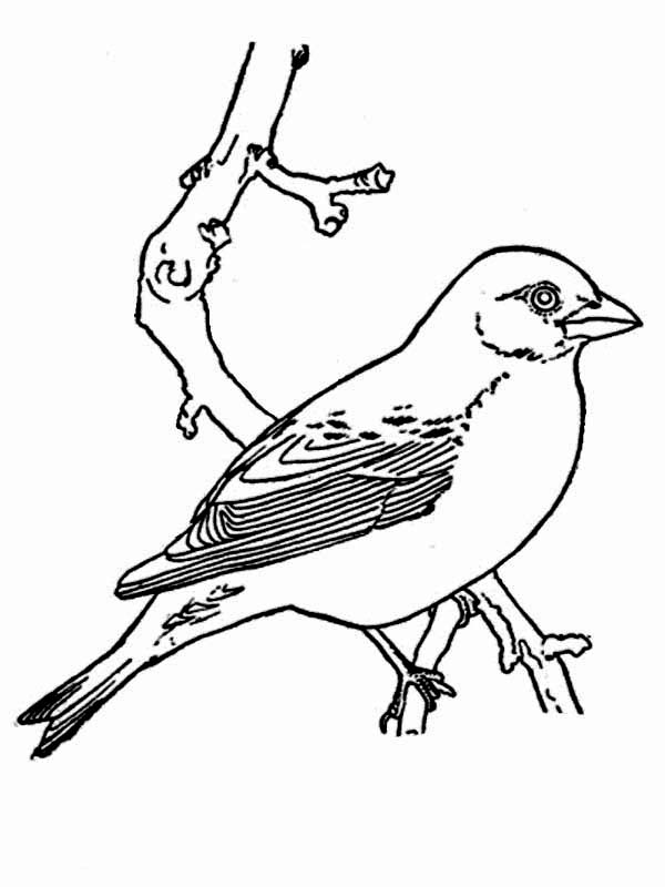 Robin bird coloring pages for kids ~ Spring Robin Coloring Pages - Coloring Home