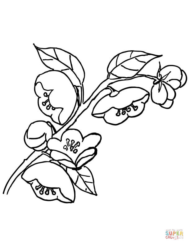 Apple Blossom Coloring Page Coloring