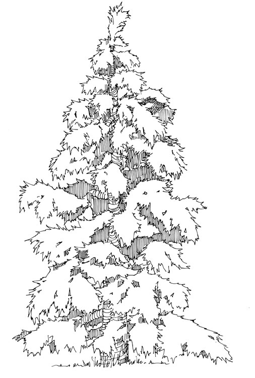 Evergreen Tree Outline Coloring