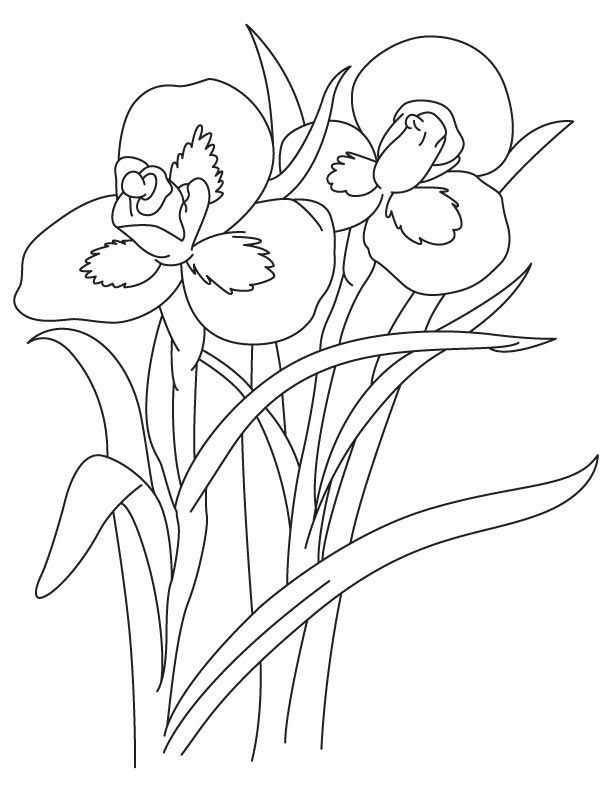 iris coloring pages - photo#13