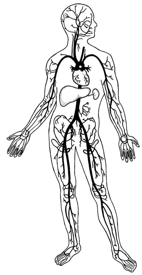 circulatory system coloring page coloring home Circulatory System Coloring Worksheet  Circulatory System Coloring