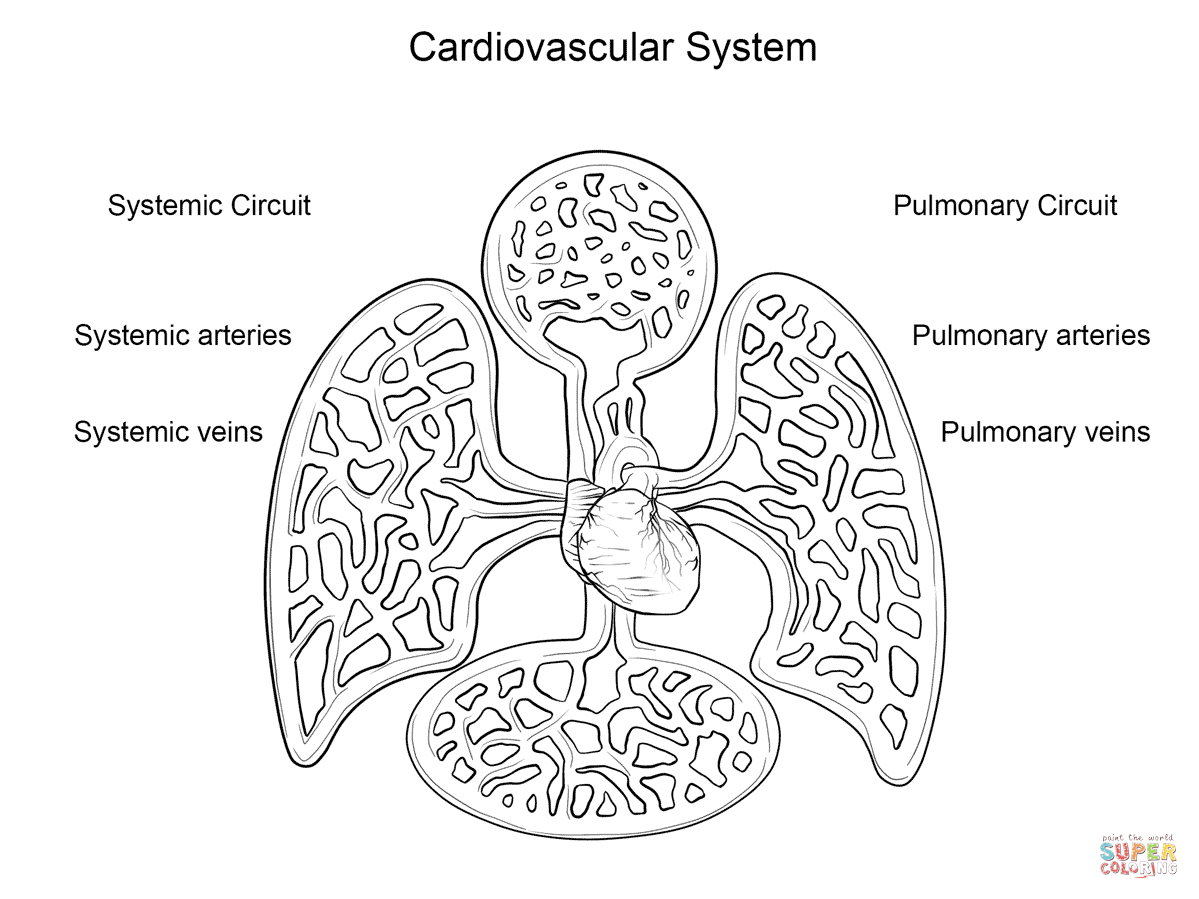 Cardiovascular System Coloring Page | Free Printable Coloring Pages ...