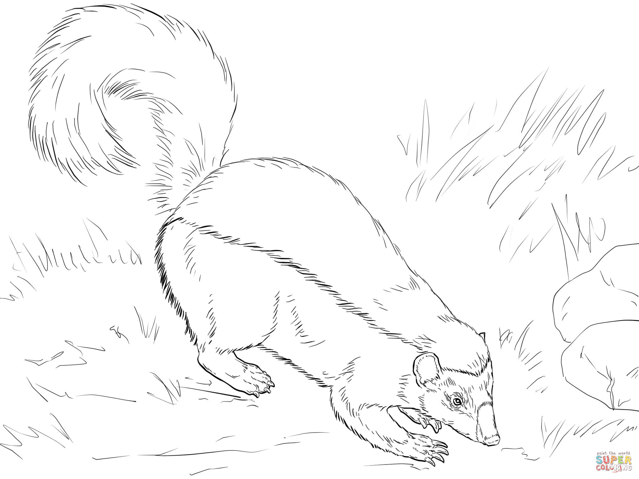 Realistic Skunk Coloring Pages Coloring Home