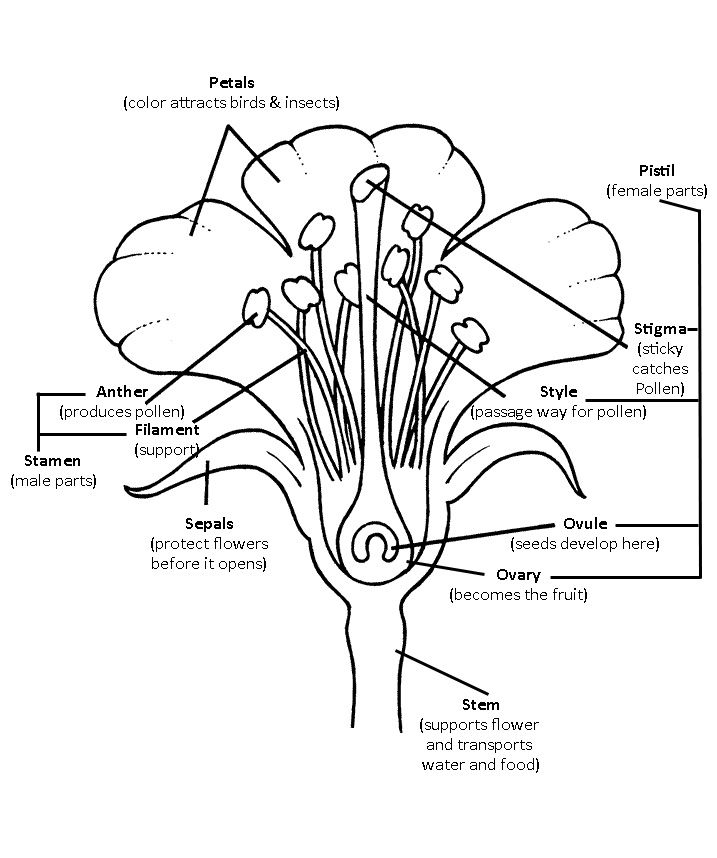 Basic Anatomy Of A Flower Coloring Sheet Coloring Coloring Pages
