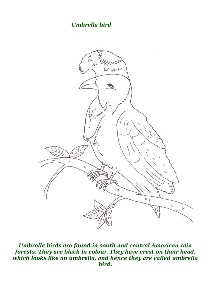 Umbrella Bird Animal With Description Coloring Page