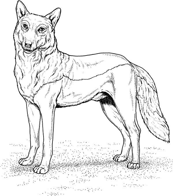 Gray wolf coloring pages coloring home for Grey wolf coloring pages
