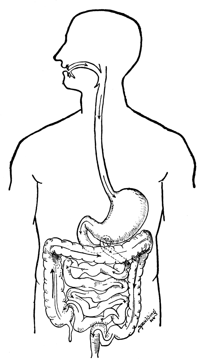 coloring pages digestive system - photo#6
