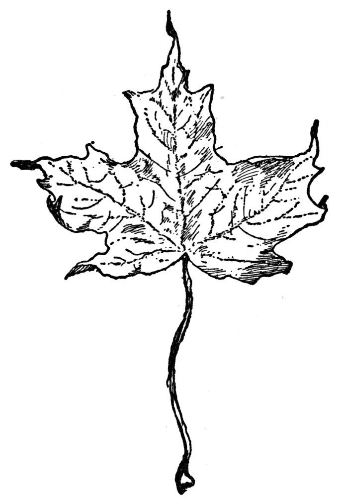 Canadian Maple Leaf Image