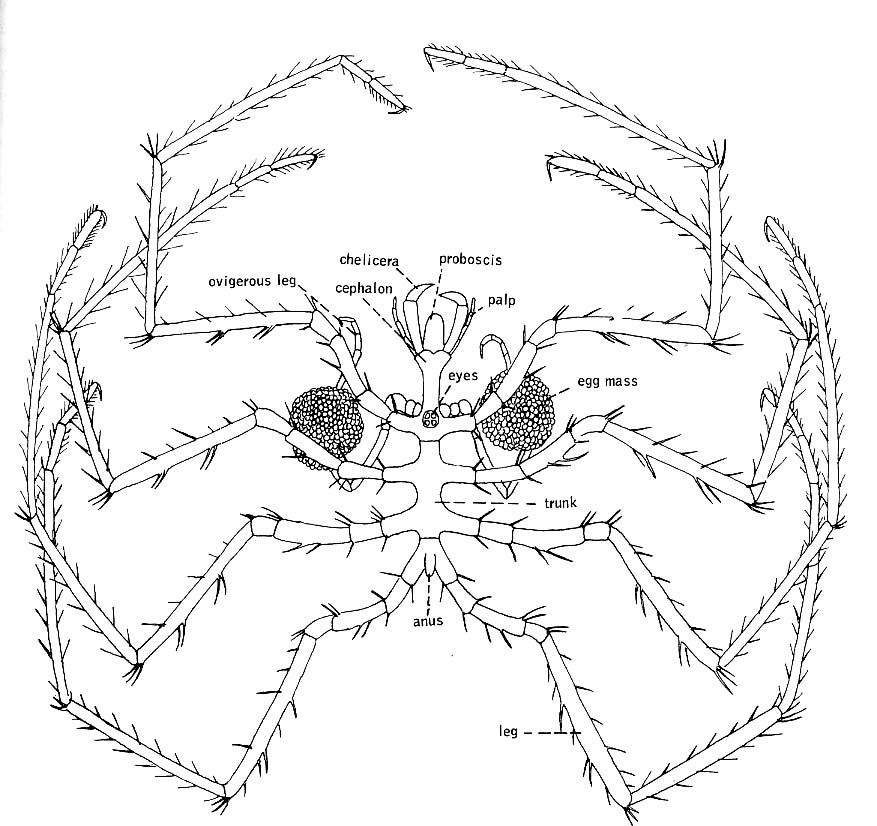 Horseshoe Crab Coloring Page