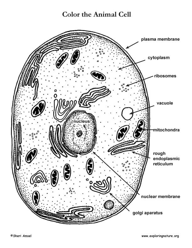 Animal Cell Coloring Labeled Coloring Pages
