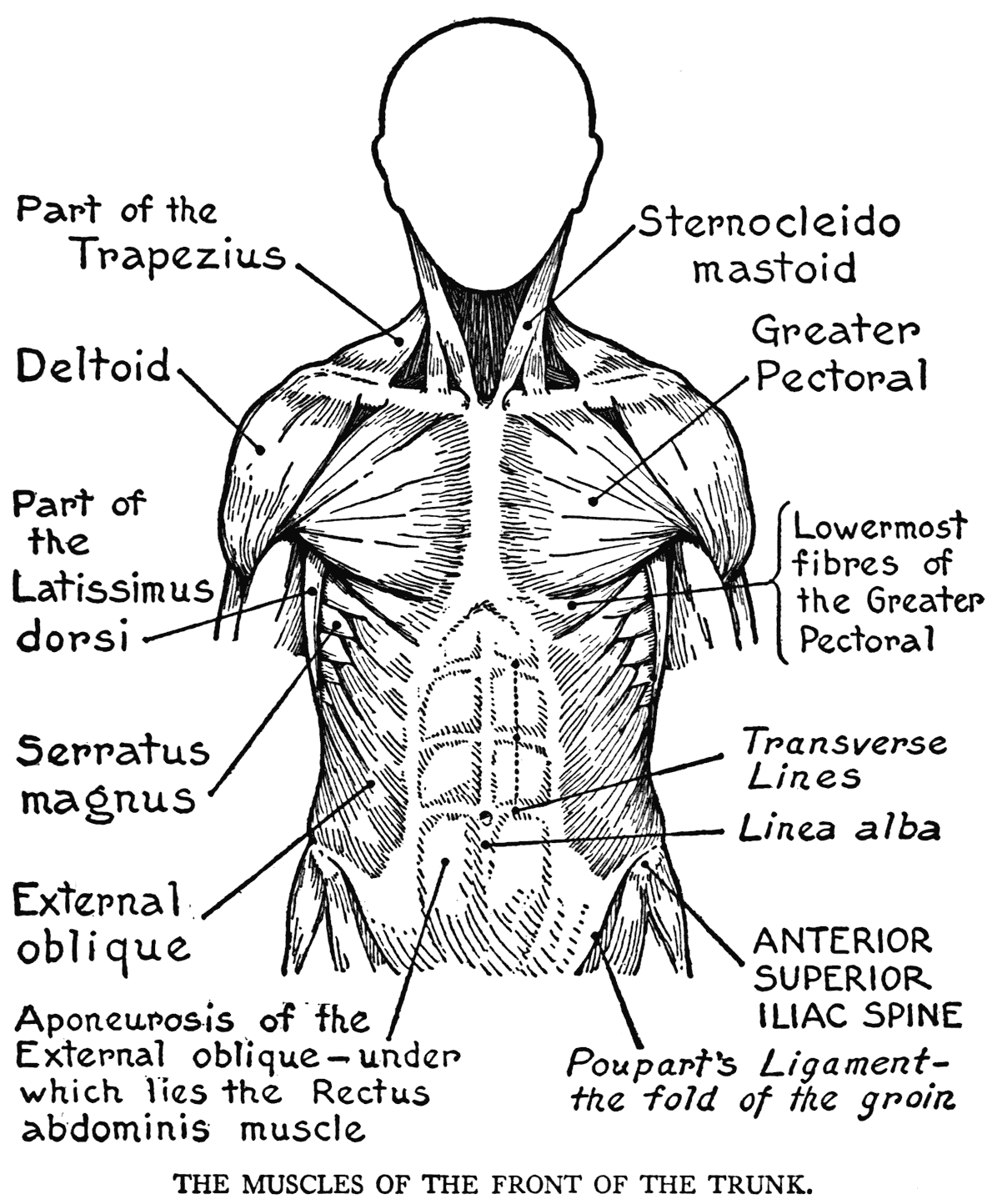 Free muscular system coloring pages ~ Muscle Coloring Page - Coloring Home