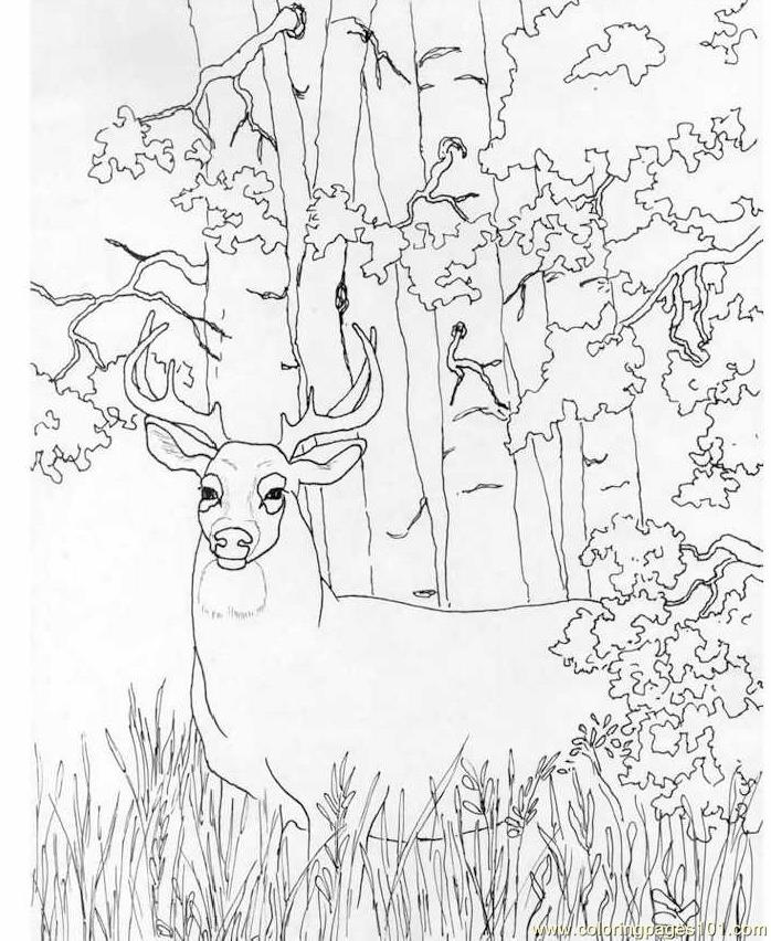 white tailed deer coloring pages - photo#21