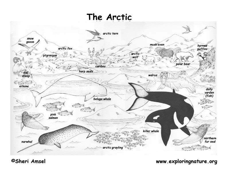 Free biome coloring pages coloring home for Tundra animals coloring pages