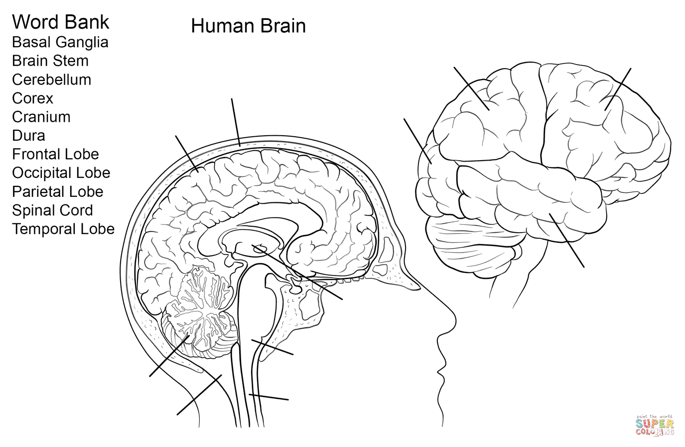 Human Brain Worksheet Coloring Page