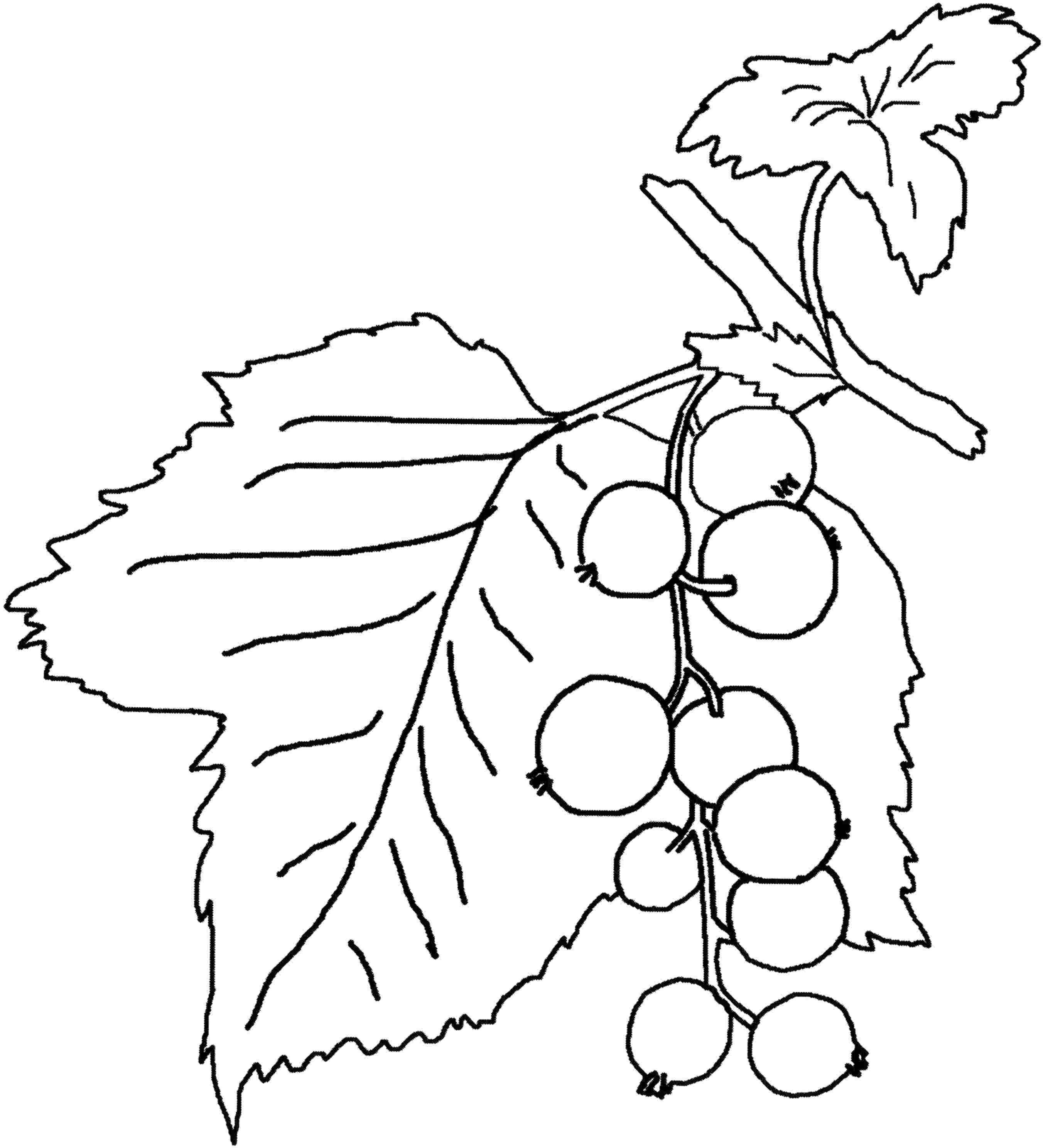 Blueberry coloring page coloring home Blueberry Bush Fall Plum Coloring Page Popsicle Stick Coloring Page