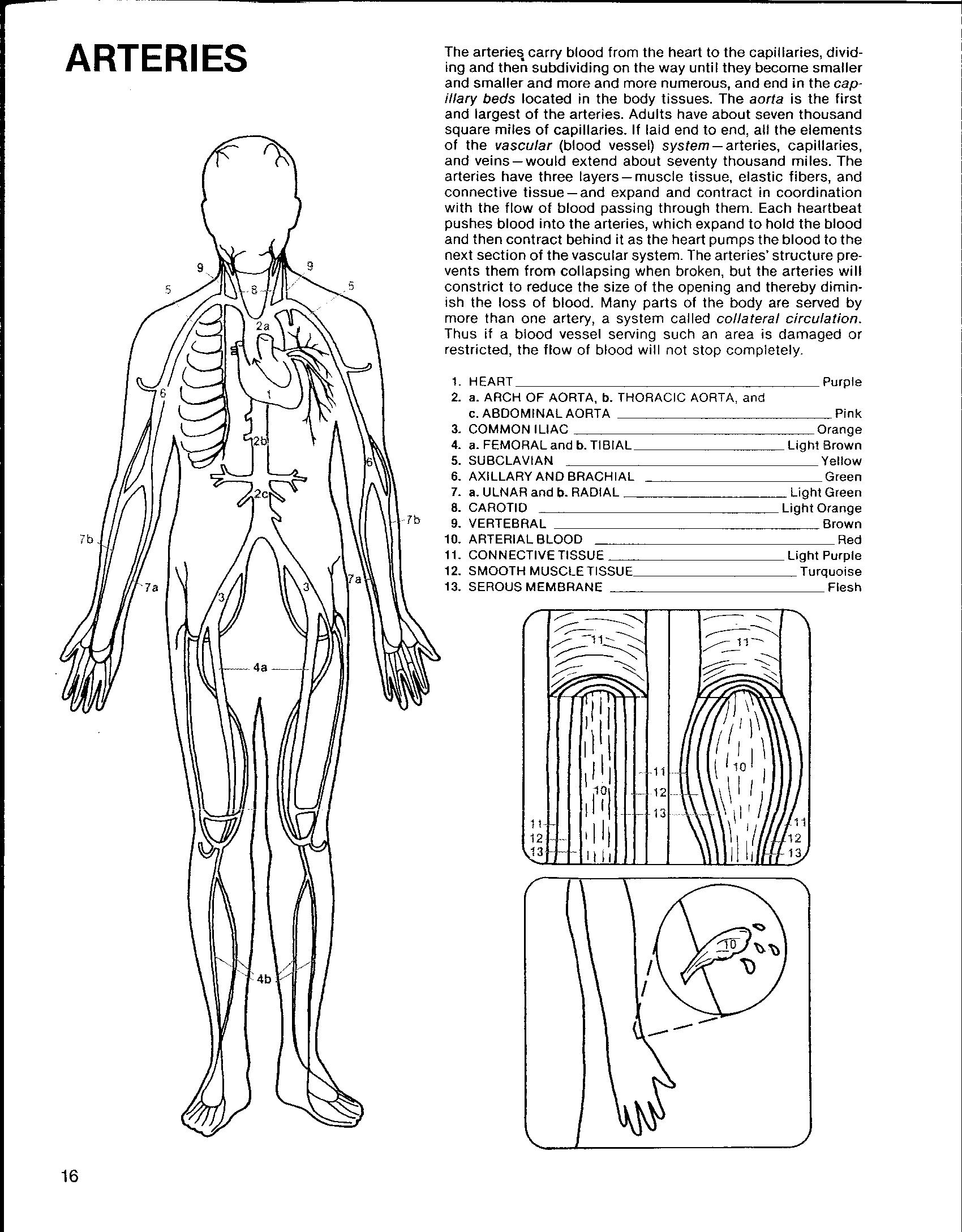 circulatory system coloring pages az coloring pages Circulatory System Coloring Worksheet  Circulatory System Coloring