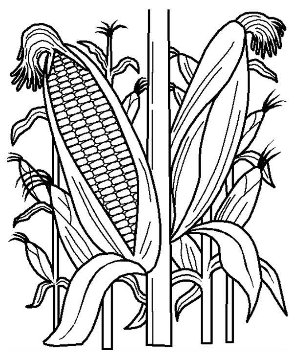 Corn Stalk Coloring Page