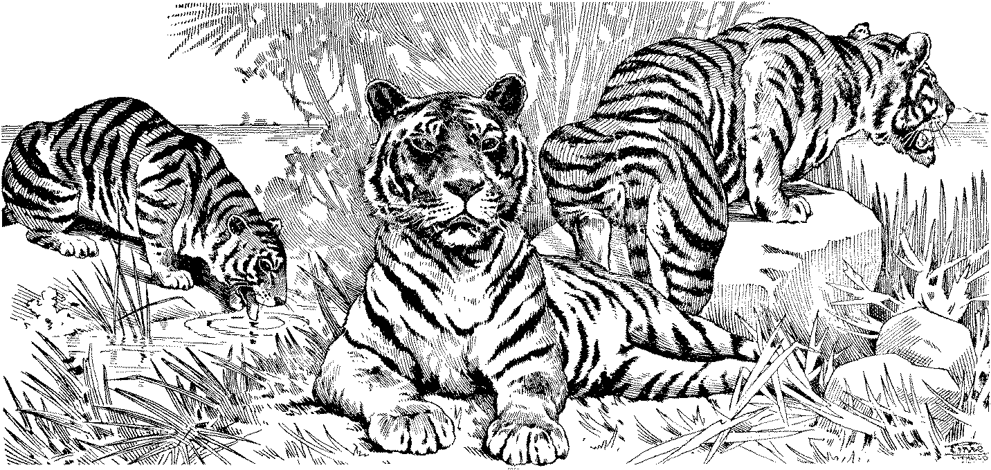 tigers printable coloring pages coloring home