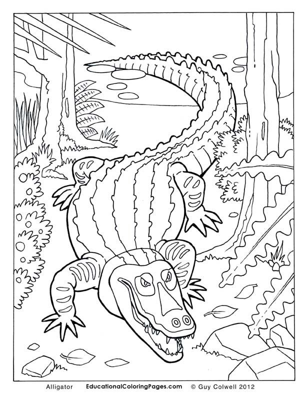 Alligator Color Pages Coloring