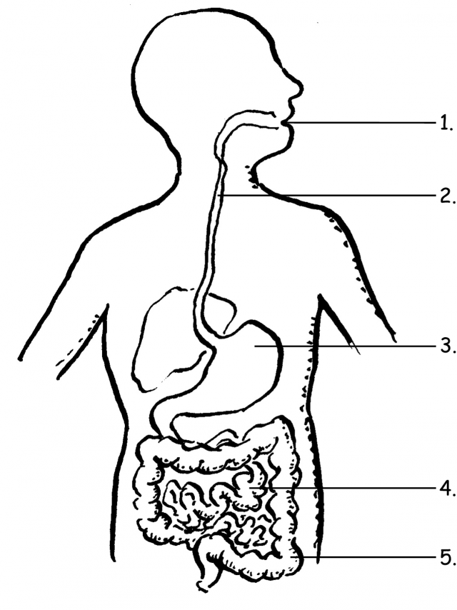 Download and print these digestive system coloring pages for free