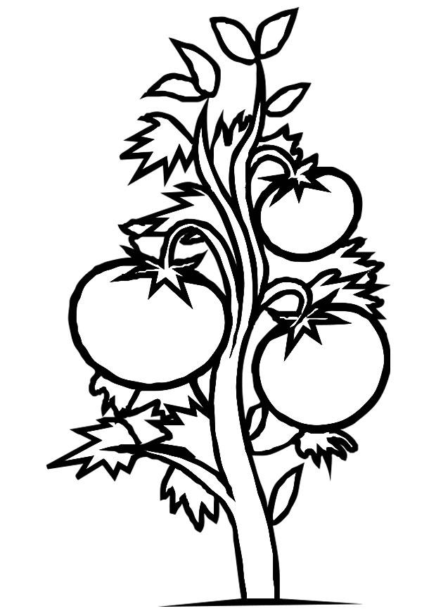 coloring pages of tomato plants - photo#1